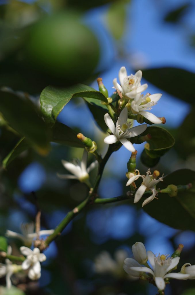 Blüten an einem Limettenbaum | chilibluetendotcom
