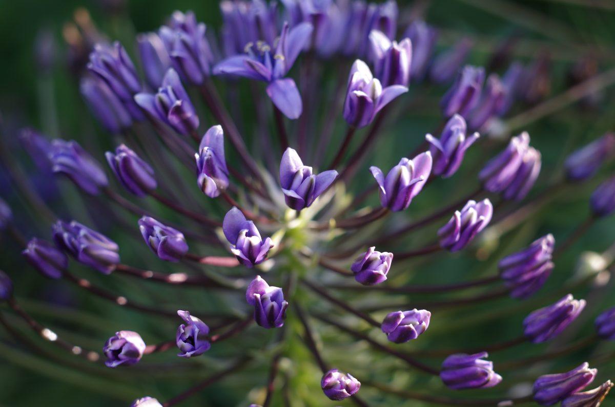 Portugiesische Blume | chilibluetendotcom
