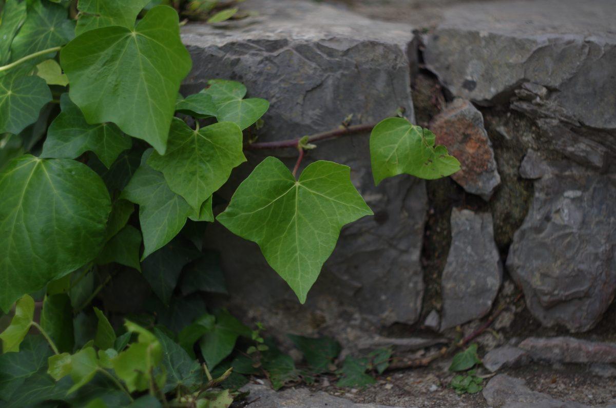 Efeu auf Steinmauer | chilibluetendotcom