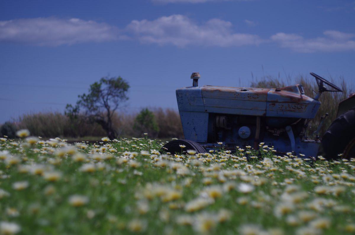 Alter Traktor im Magaritenfeld | chilibluetendotcom