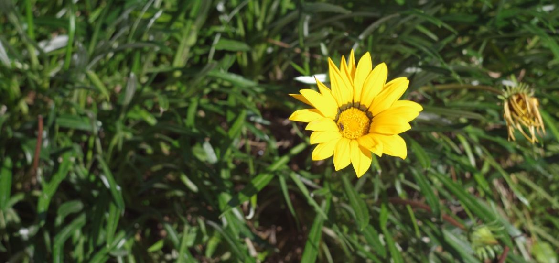 Gelbe Blume in grünem Gras | chilibluetendotcom